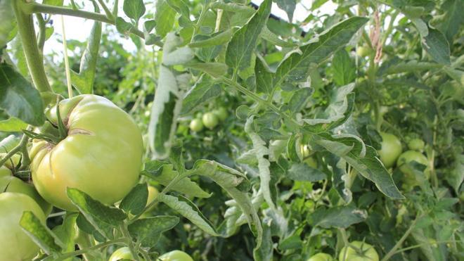 Mansilla de las Mulas transforma el tomate