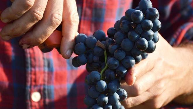 Asaja recuerda la obligación de formalizar contratos en las compraventas de fruta y uva