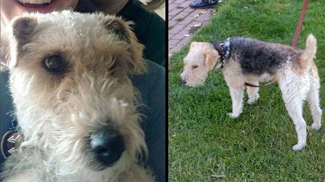 Ofrece una recompensa de 500 euros por localizar a su mascota, una perra fox terrier